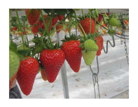 Research investigates best growing conditions for Malling™ Centenary strawberries