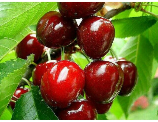 Chile eyes cherry production in northern regions.