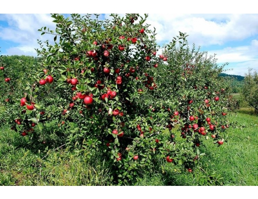 Ambrosia apple ready to hit sales peak in US
