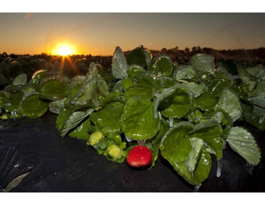 Strawberry slowdown only temporary after Florida freeze