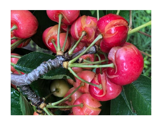 California cherry crop devastated by storms